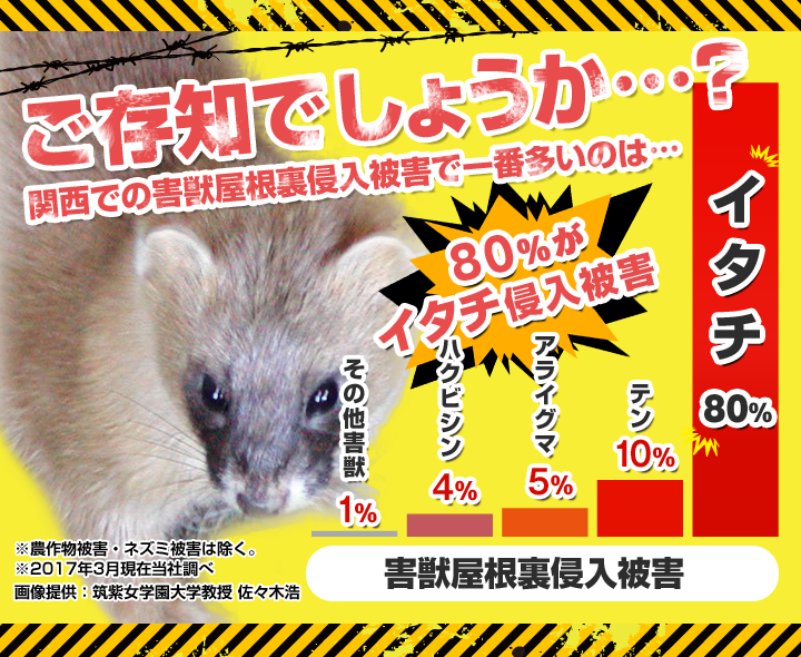 ご存知でしょうか?関西で害獣屋根裏侵入被害で一番多いのはイタチです。