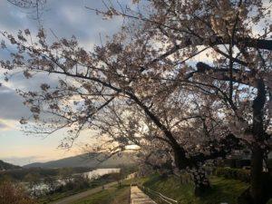 背割の桜 2020